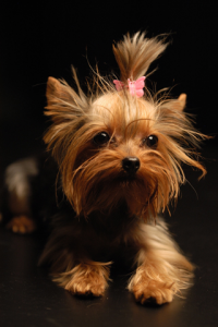 maccitiyorkshireterrier