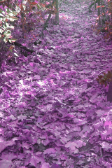 tamswallsv2purpleleaves1
