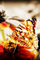butterfly3