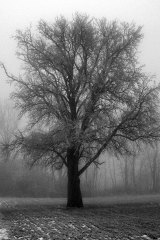 blackwhitesnowtree